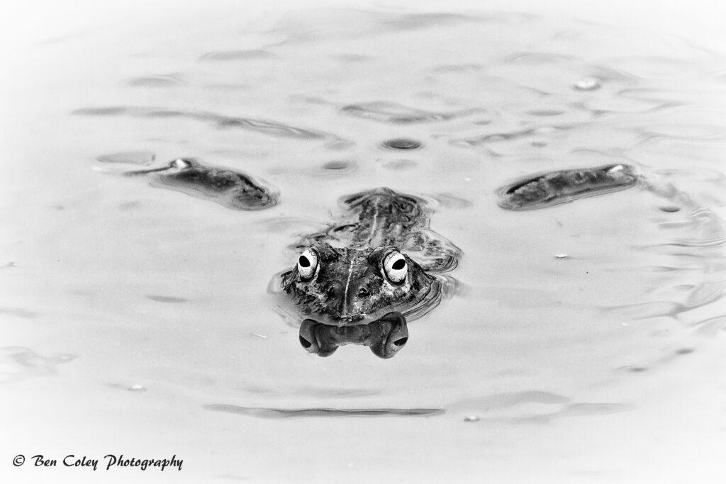 bullfrog-2