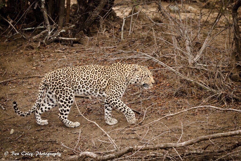 leopardess-2-small