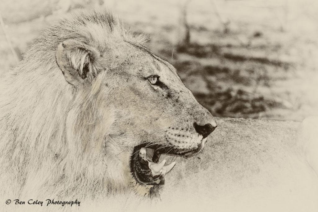 lion-1-2