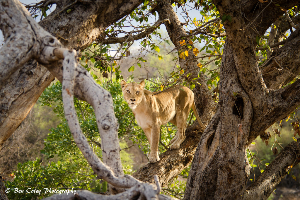 lioness-in-tree-1-2