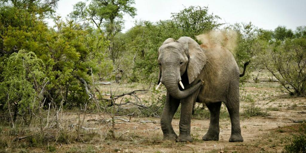 An elephant walking in the bush.