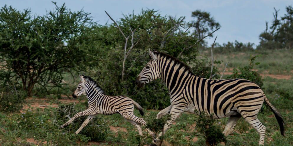 An adult and juvenile zebra running through a thicket.