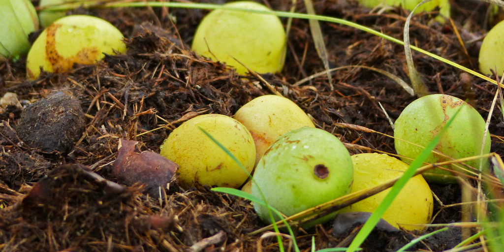 The marula fruit has many different uses and benefits