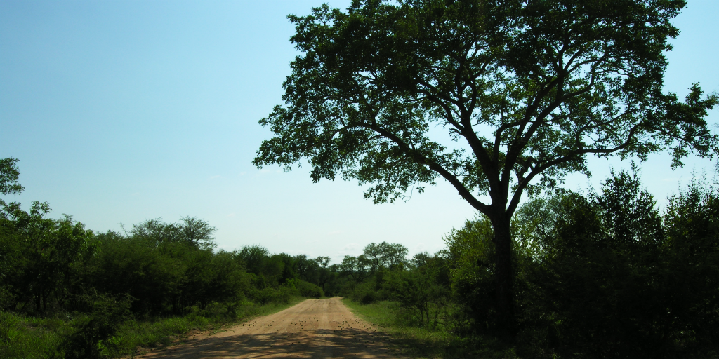 The majestic marula tree stands tall