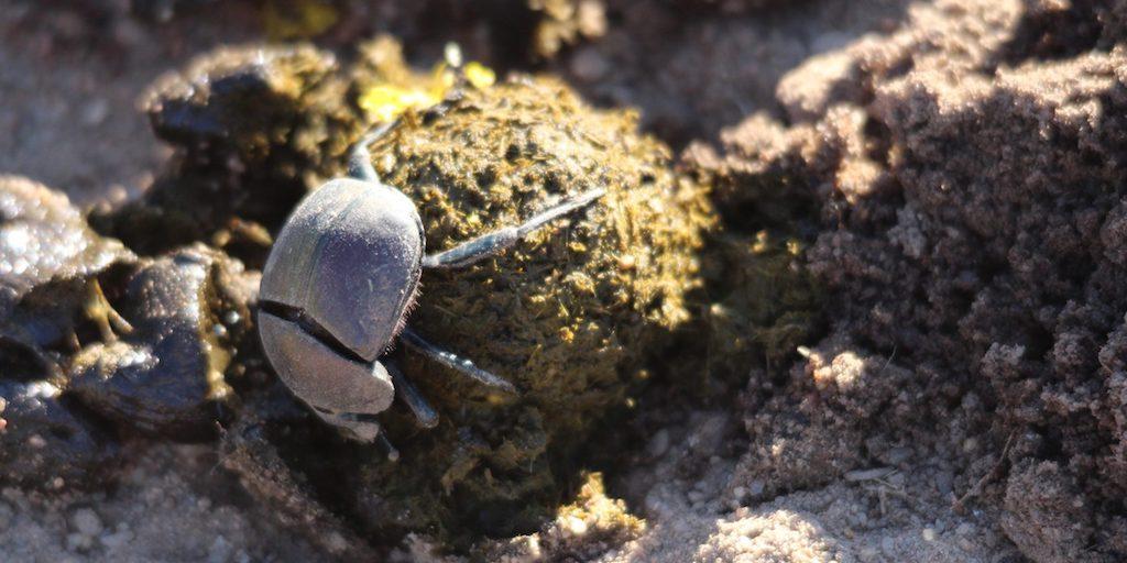 Dung beetle season