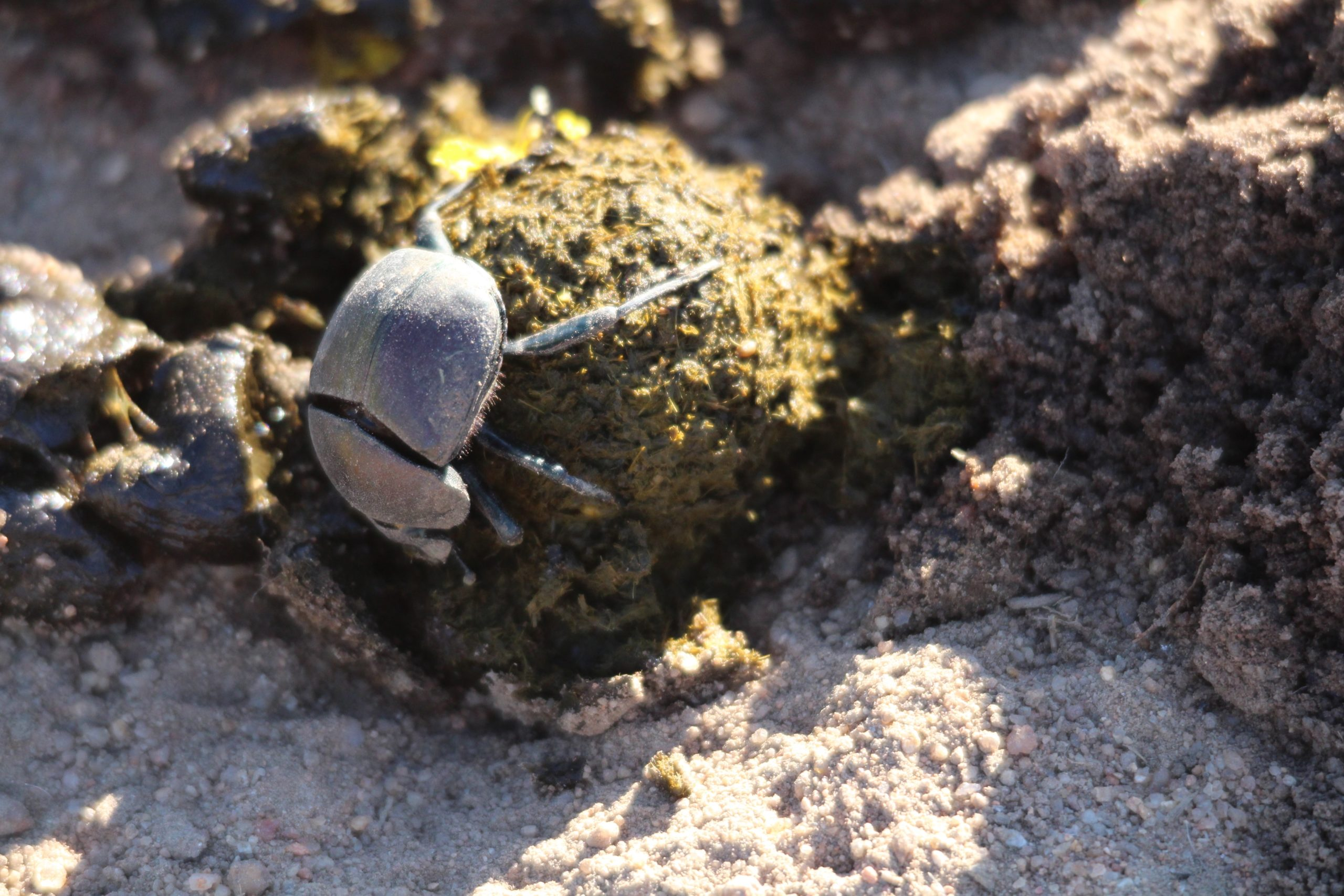Dung beetle season