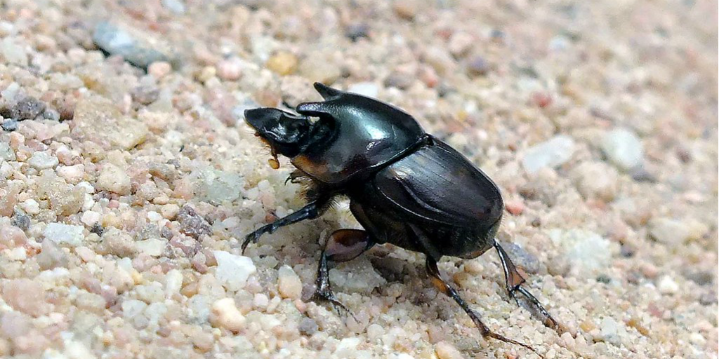 A horned dung beetle standing on gravel.