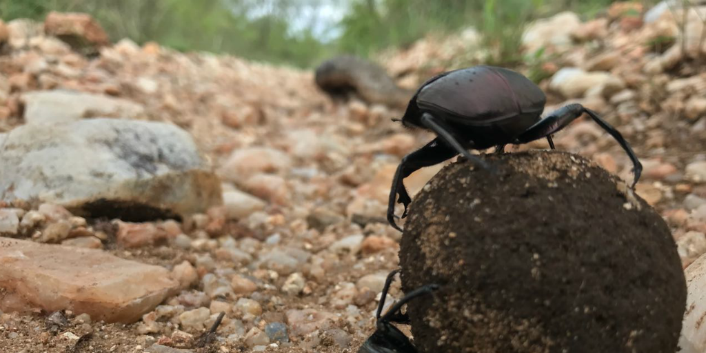 A dung beetle standing on top of a dung ball.