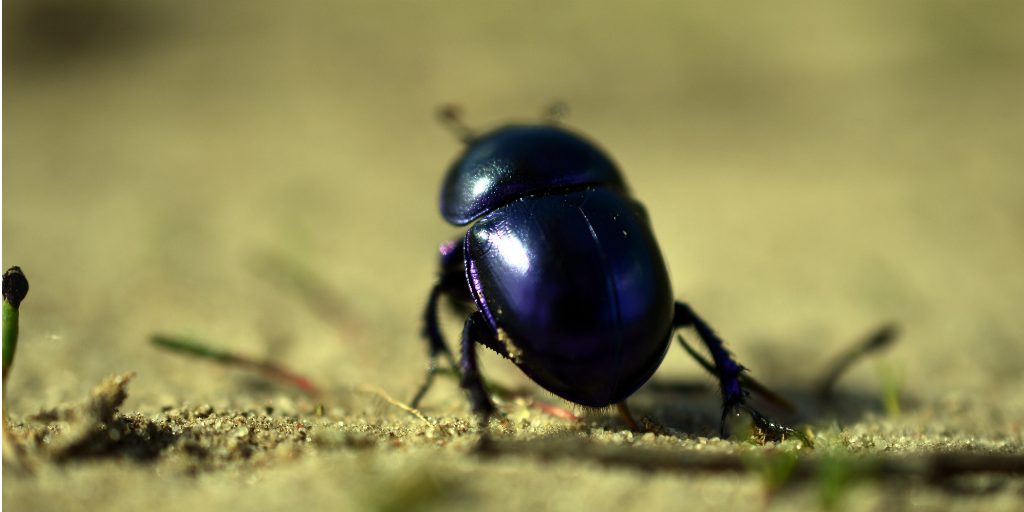 A dung beetle standing on moss.