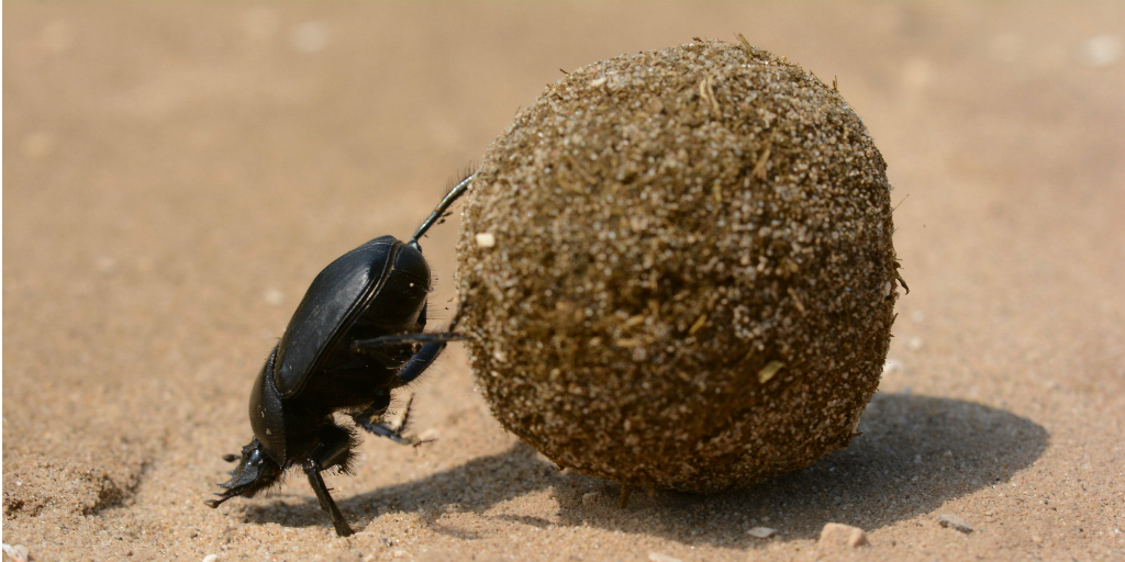 A dung beetle rolling a dung ball.