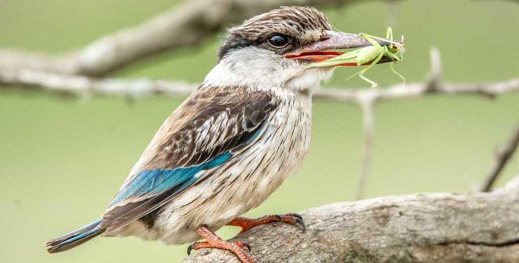 How migrating birds impact local birds