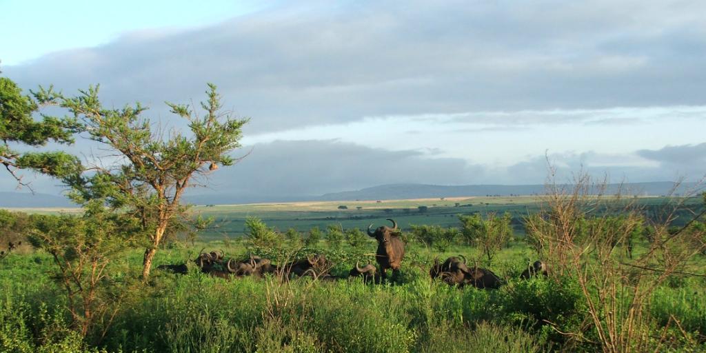 A herd of wildebeest resting in long green grass.