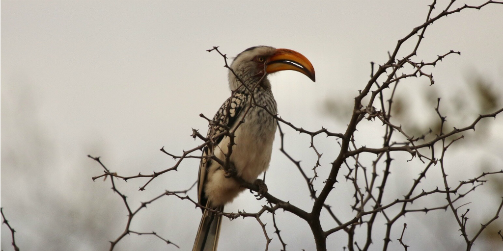 A hornbill perched in the bare branches of a tree.