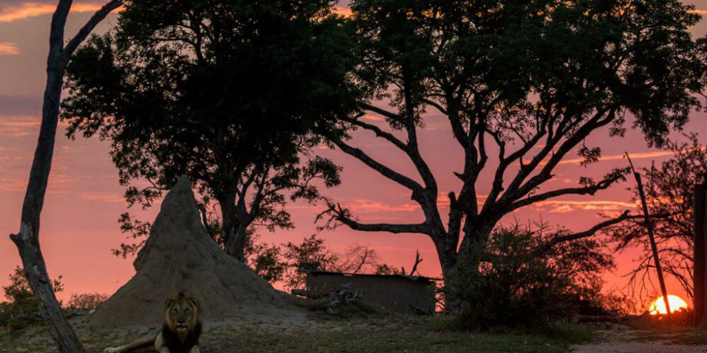The silhouette of trees in front of a red sky with a lion lying in the foreground.