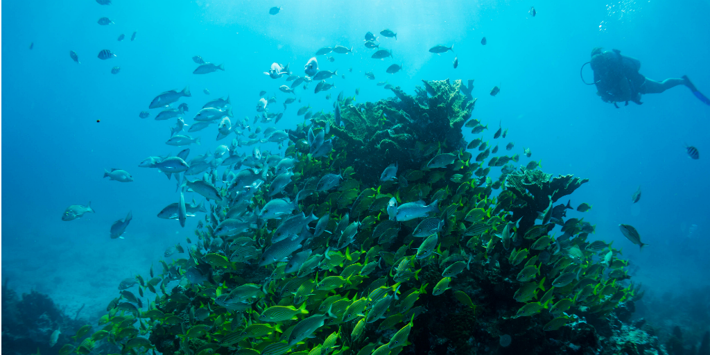 A diver observing a school of fish swimming around an outcrop of coral.