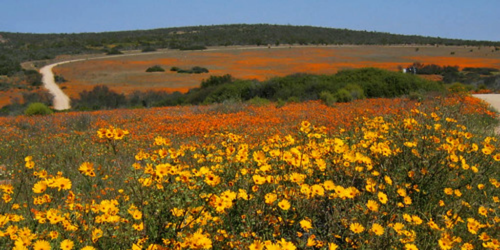 Fields of yellow and orange wild flowers in the karoo.
