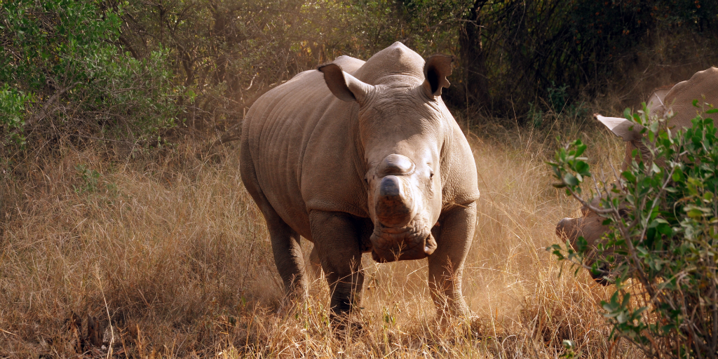 A rhino standing in a grassland.