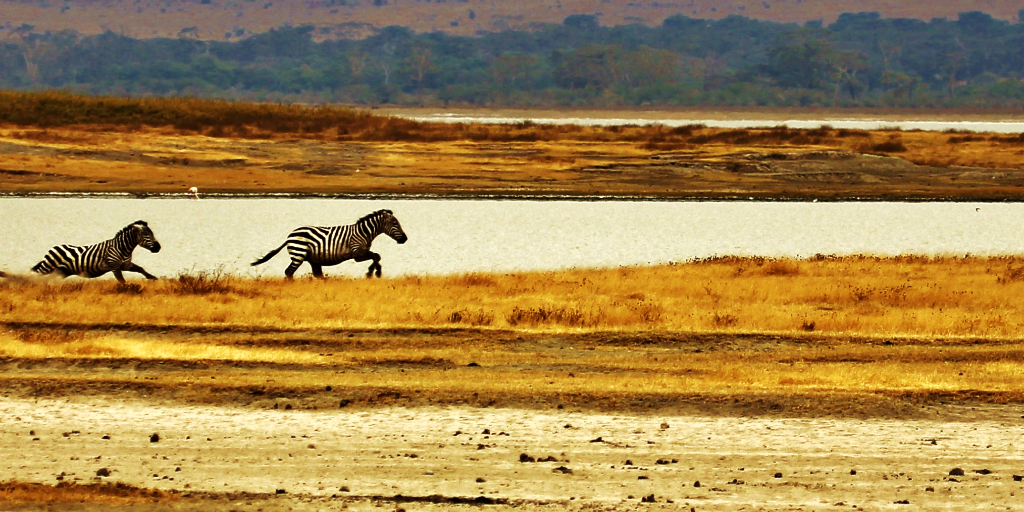 The zebra habitat is grasslands, some in the east and south parts of Africa.