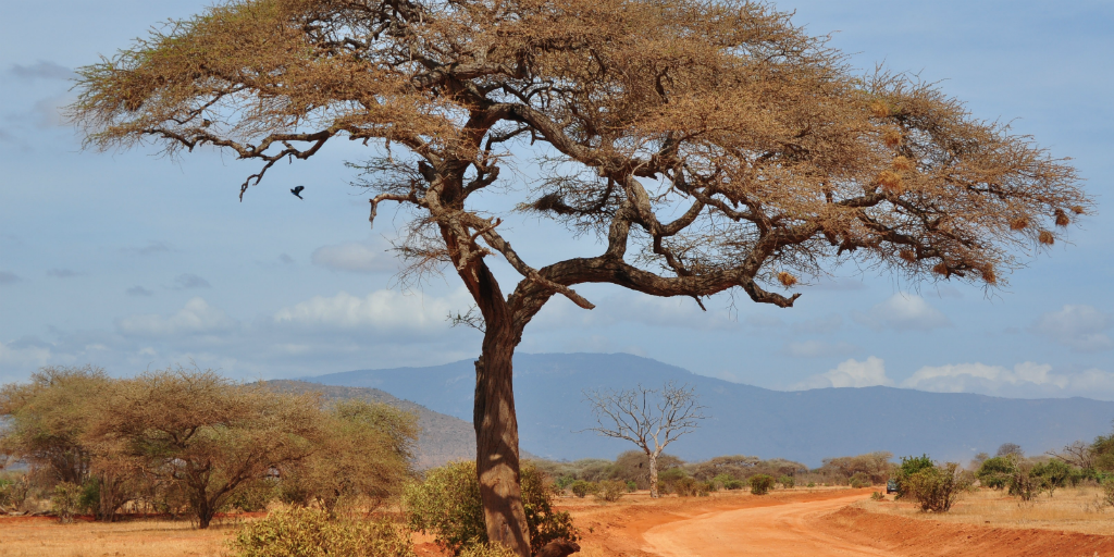 A tree in the African Savannah.