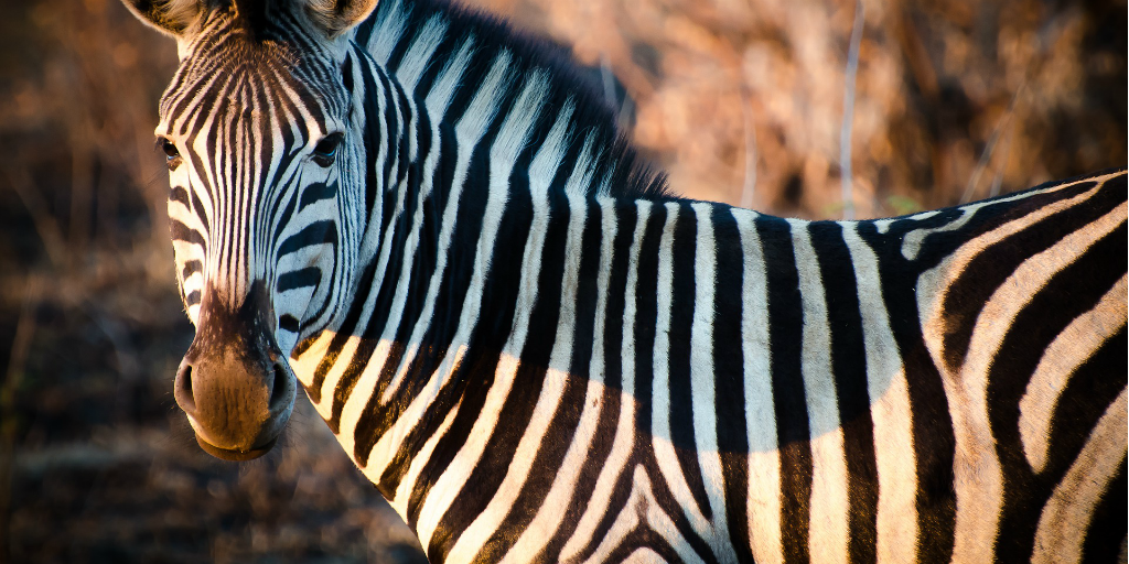 How did the zebra get its stripes? And other zebra facts and folklore