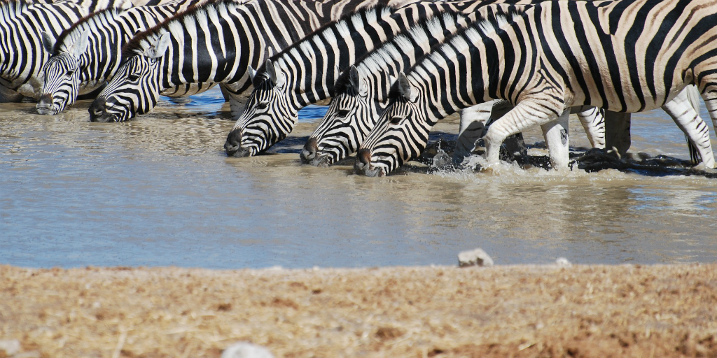 Zebras in Africa drinking from a waterpool.