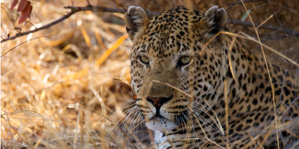 Leopards are part of the big cat family.