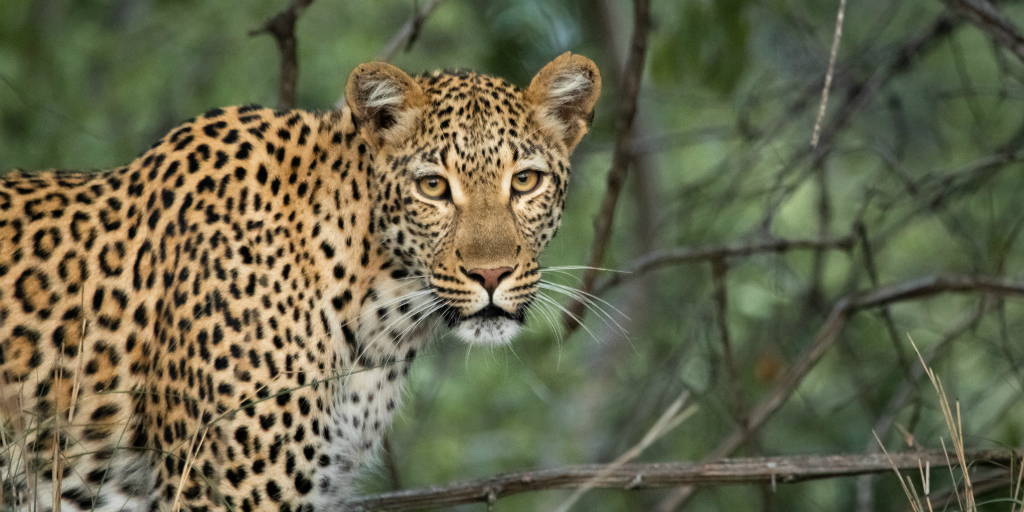 Become a wildlife conservationist and learn more facts about leopards.