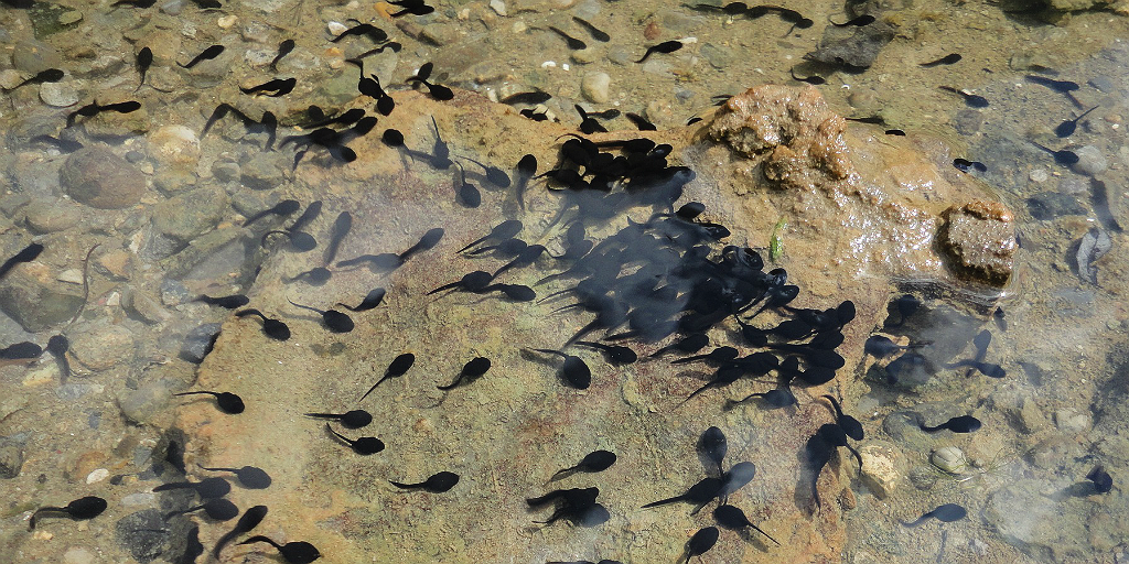 Tadpoles provide food for fish.