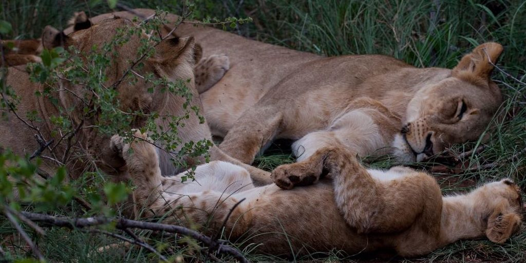 Lioness and her cub sleeping in the grass.
