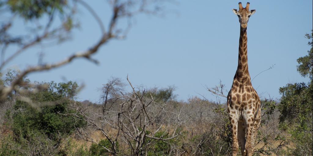 Why are giraffes endangered?