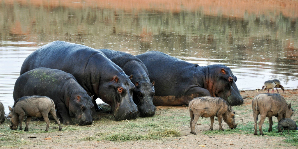 Common warthogs and hippopotamuses in Africa.