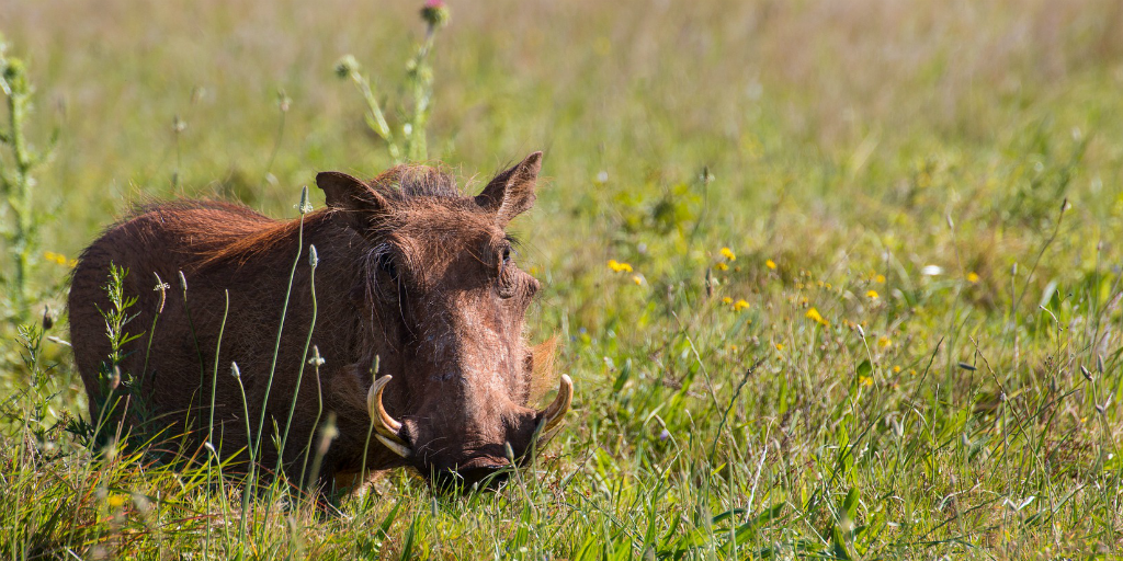 Is Pumba a common warthog?