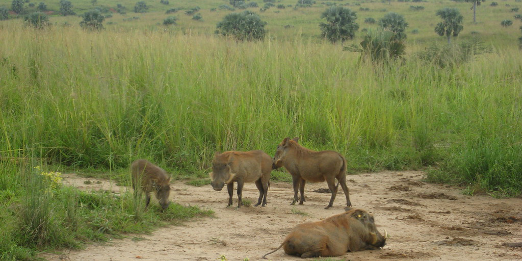 Common warthogs in Africa.