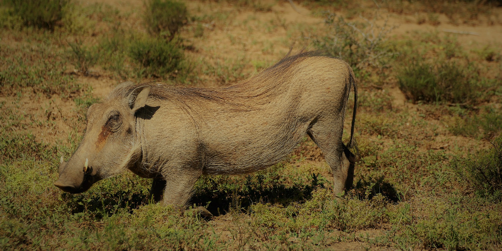 The fictional warthog, Pumbaa, looks just like the African common warthog.