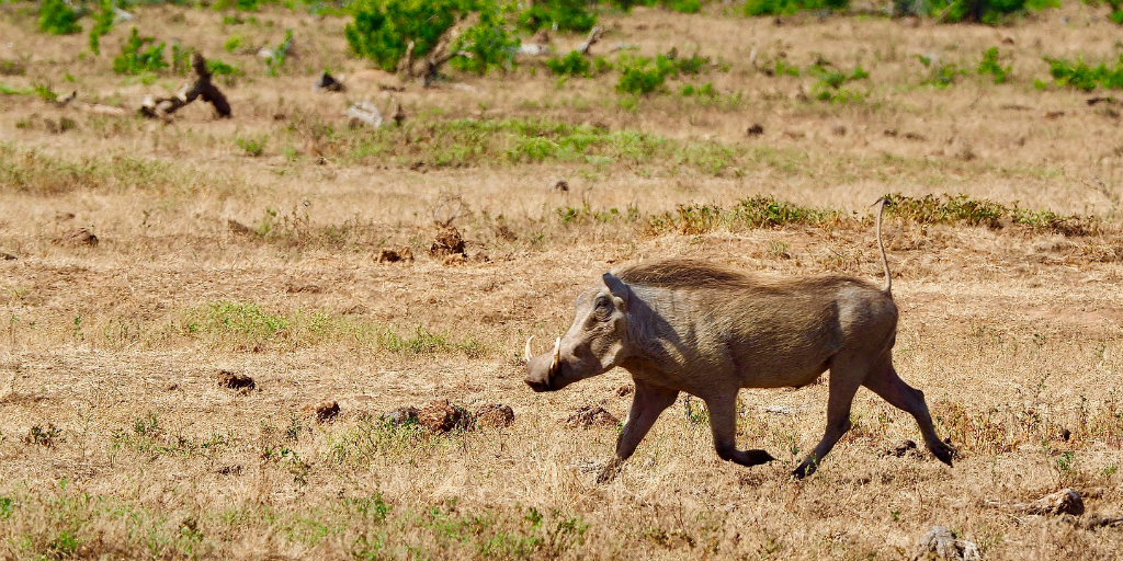 A common warthog in the African bushveld.