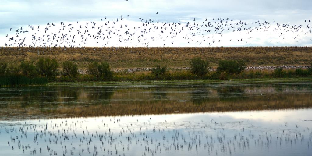 Migratoy birds