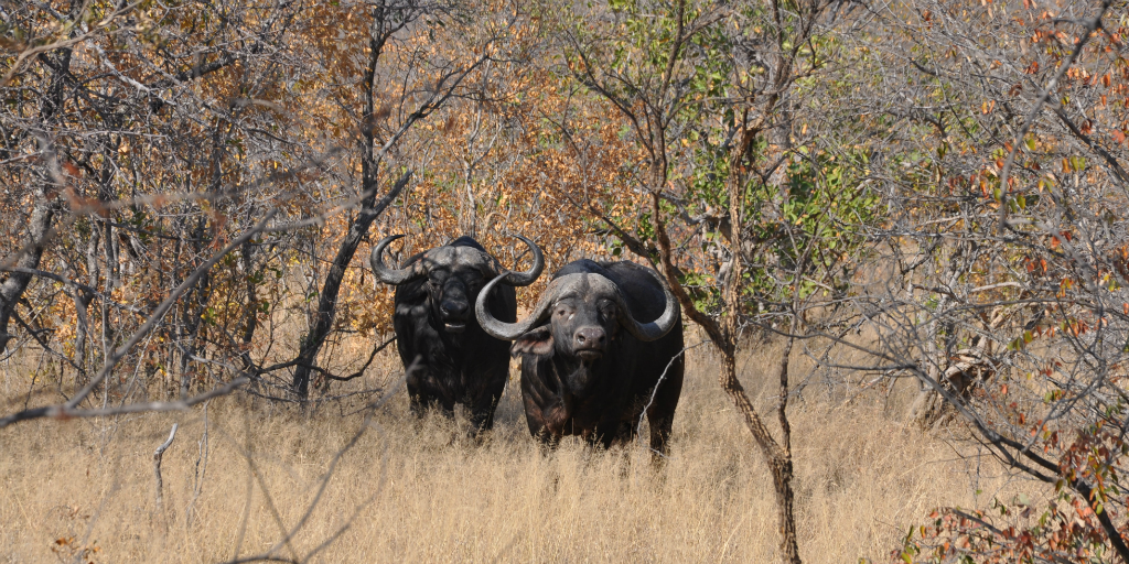 buffalo in Limpopo, South Africa