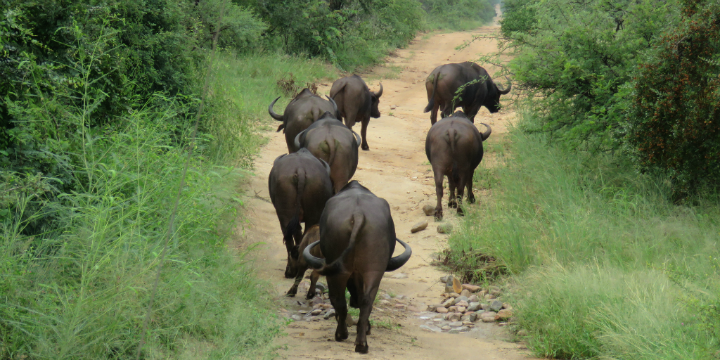 What the water buffalo means to the past and present of human beings