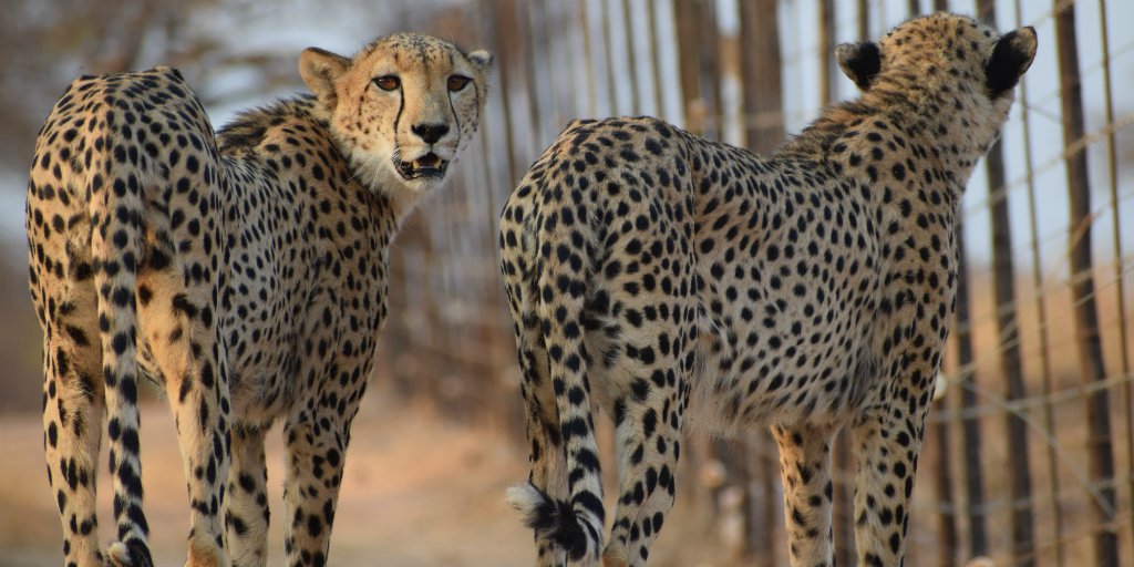 How to celebrate International Cheetah Day: learn all about cheetahs
