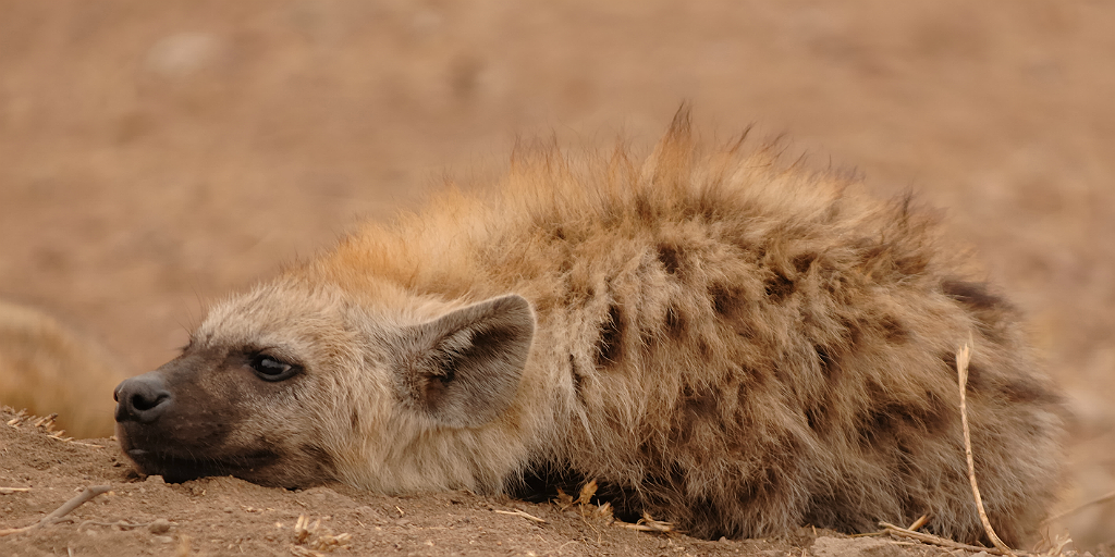 Are hyenas cats or dogs?