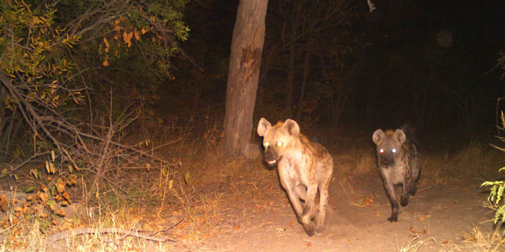 hyenas running through the bushveld at night