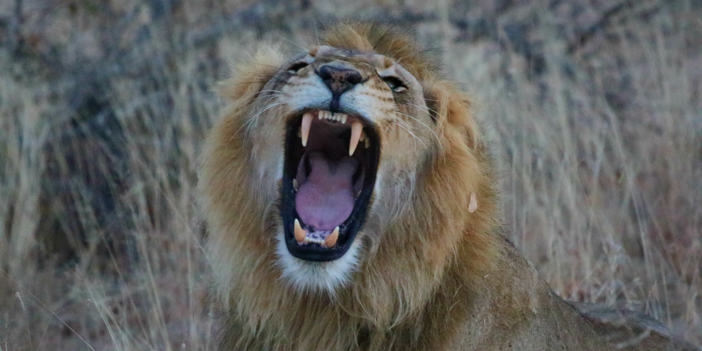 A lion yawning in the savannah.