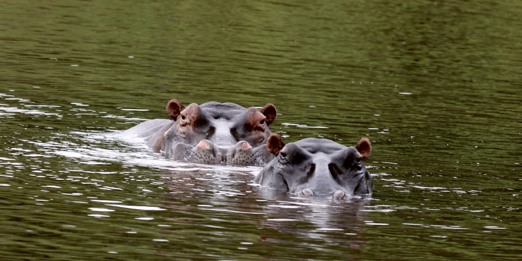 Are there different types of hippos?