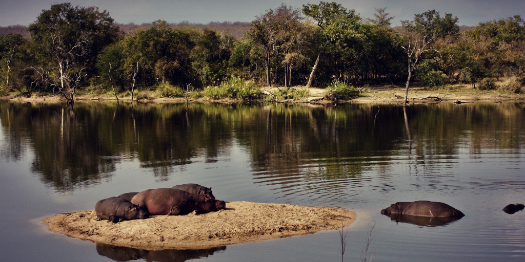 Are hippos endangered?