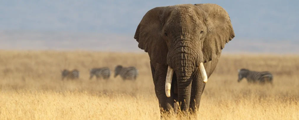 What goes on inside the head of an Elephant?