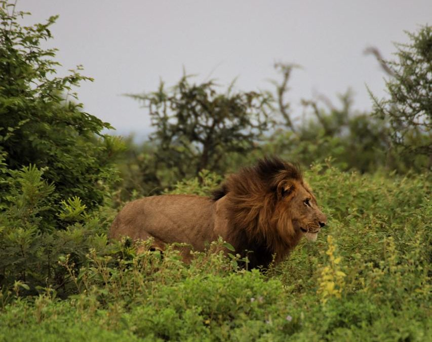 Hidden trails and a lion's feast – a week in the life of a camp manager