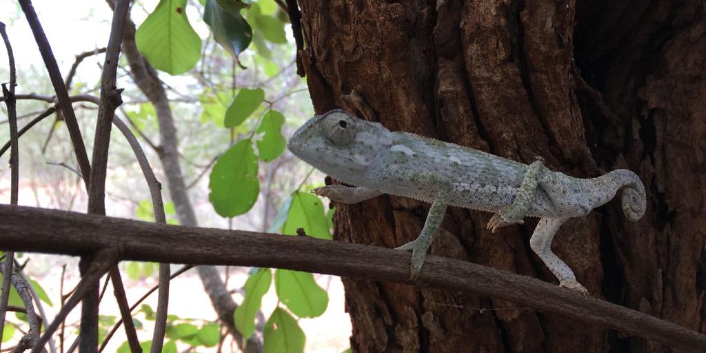 A tiny chameleon walking along a branch