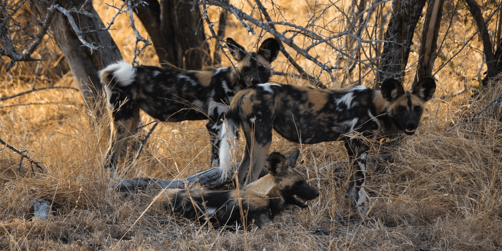 african wild dog spotted at Bushwise in Limpopo
