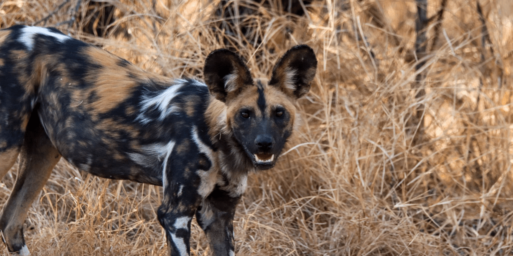 Why is the African wild dog endangered and other African wild dog facts