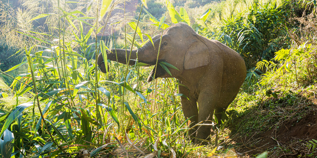 Asian elephants are at risk if habitat loss continues